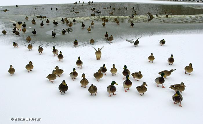 Canard en fête